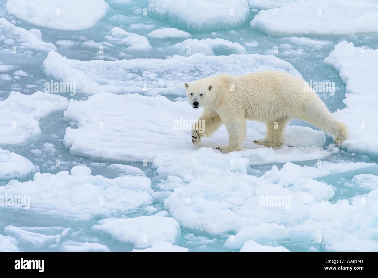 Norway, Svalbard, 82 degrees North. Polar bear on the move. Stock Photo