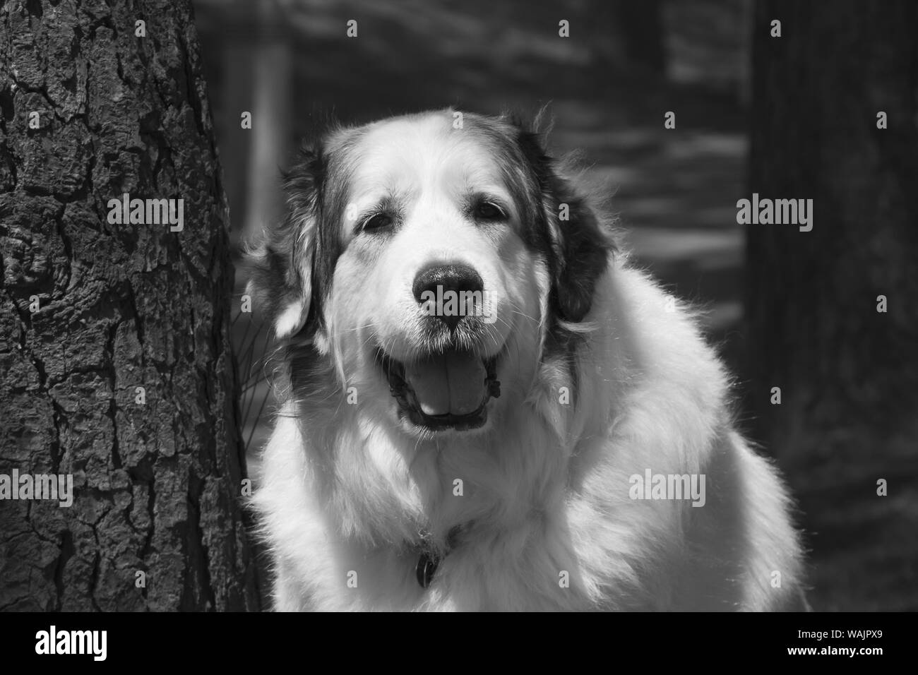 Great Pyrenees at the park. Stock Photo