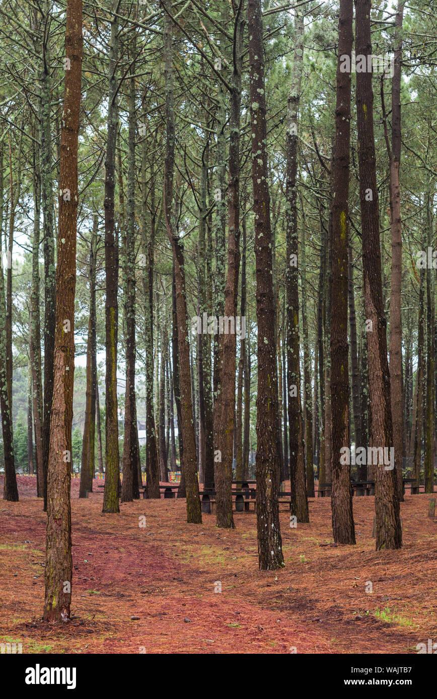 Portugal, Azores, Pico Island, Santa Luzia. Reserva Florestal de Santa Luzia, forest park Stock Photo