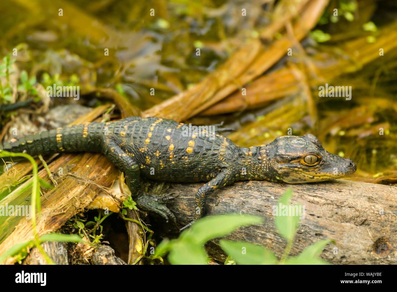 USA, Louisiana, Vermilion Parish. Baby alligator sunning on log. Credit as: Cathy and Gordon Illg / Jaynes Gallery / DanitaDelimont.com Stock Photo