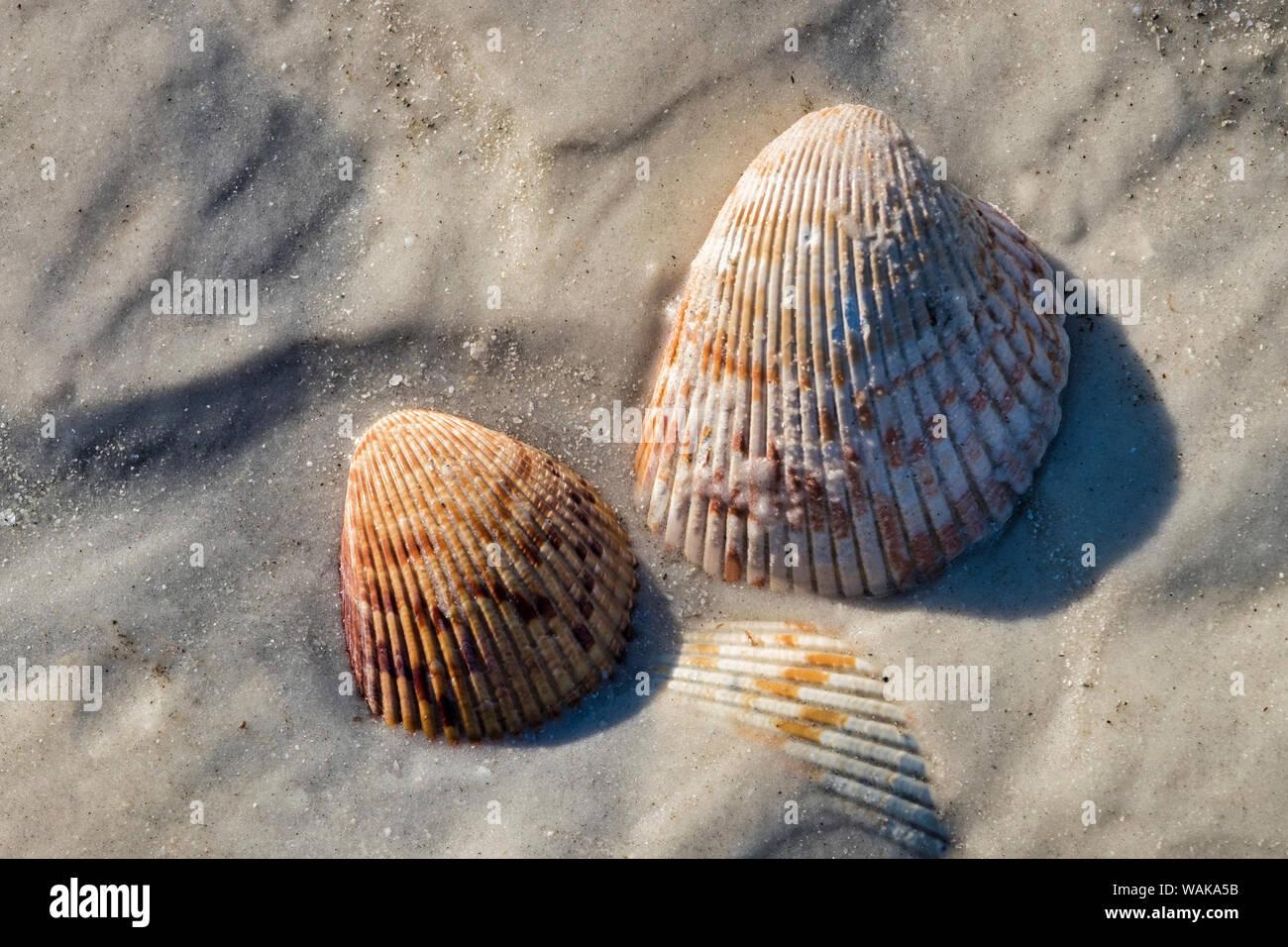 Seashells, Honeymoon Island State Park, Dunedin, Florida, USA Stock Photo
