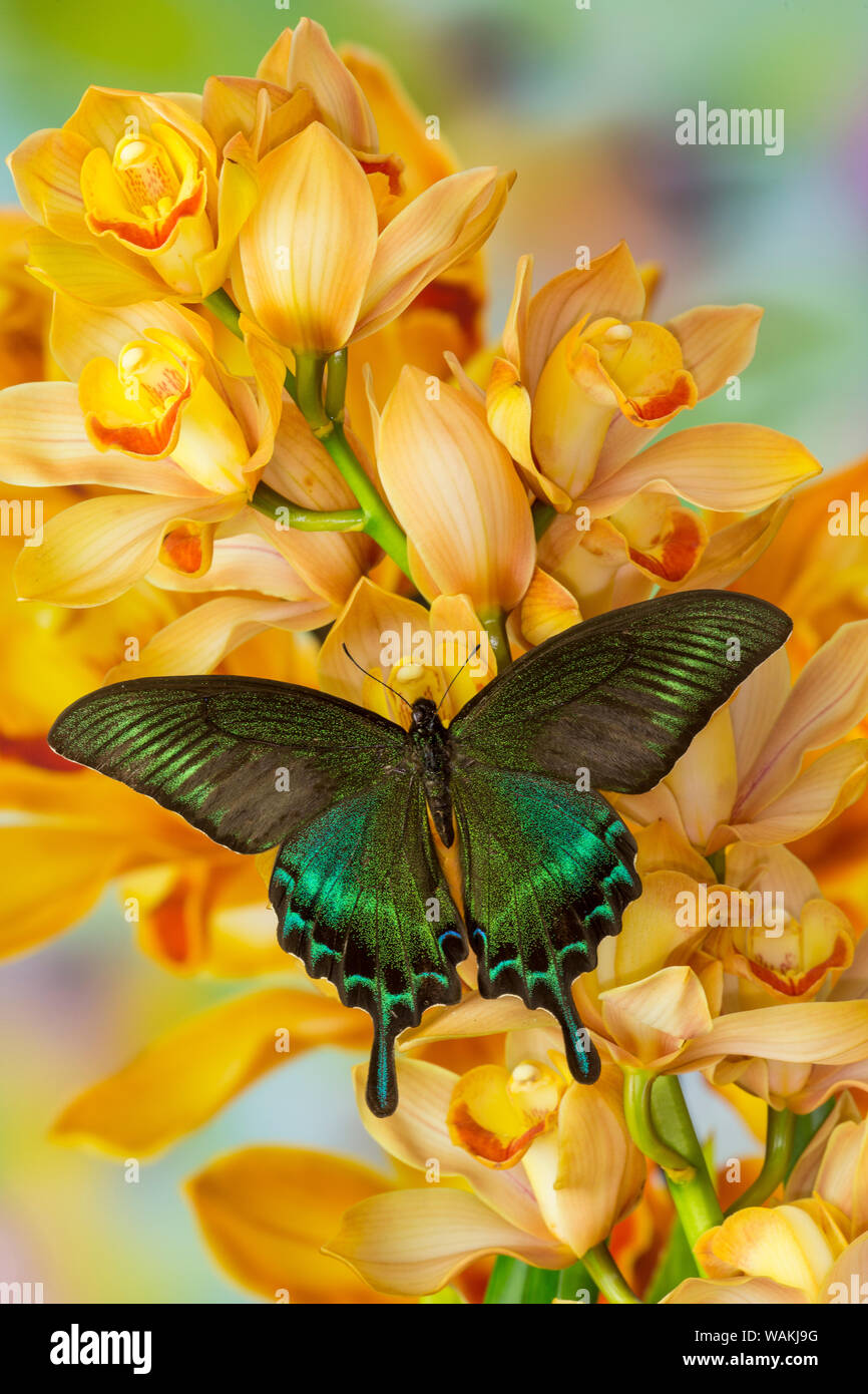 Male Asian swallowtail butterfly, Papilio bianor, on large golden cymbidium orchid Stock Photo