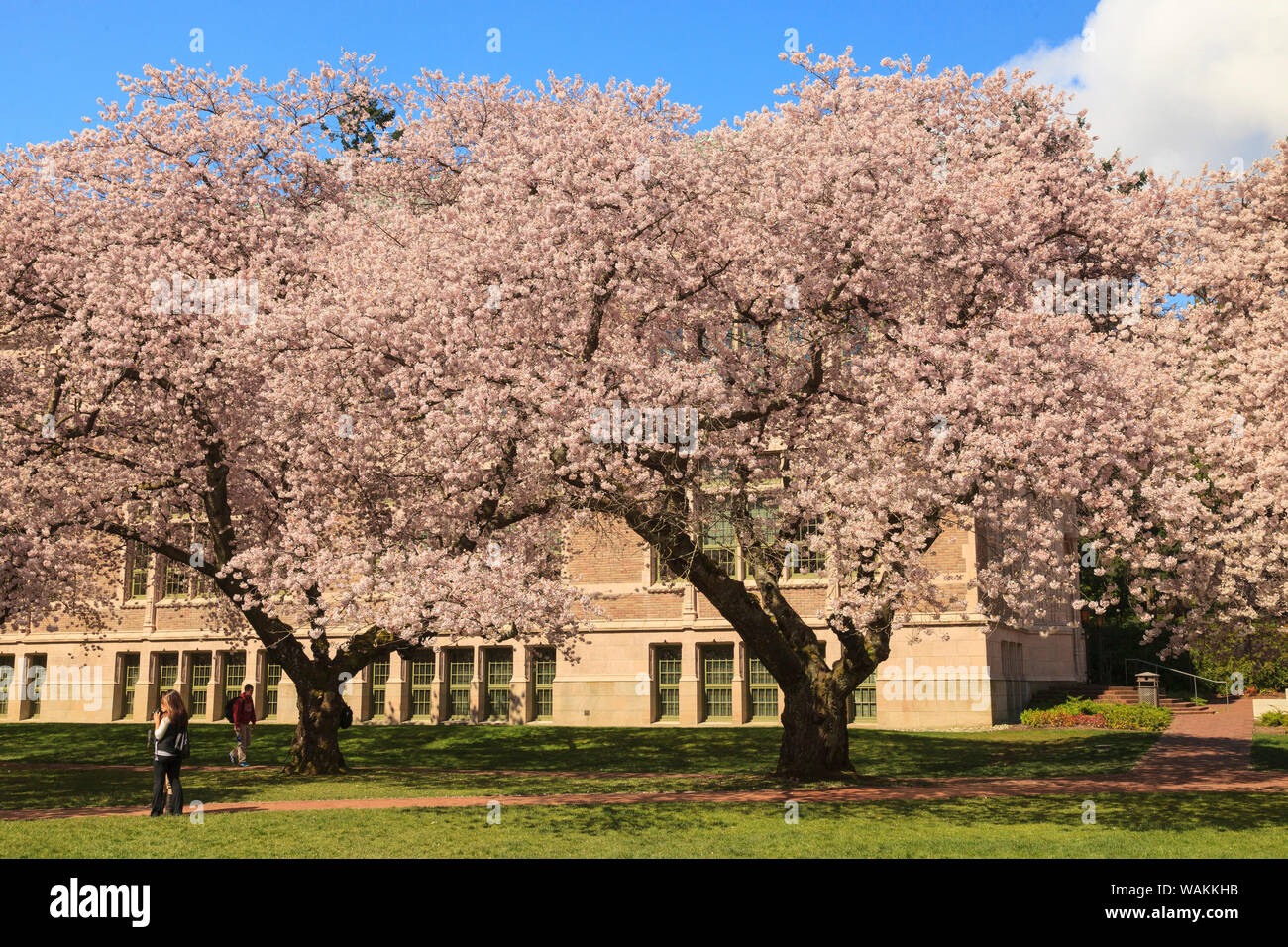 Cherry Blossoms In Peak Bloom Spring University Of
