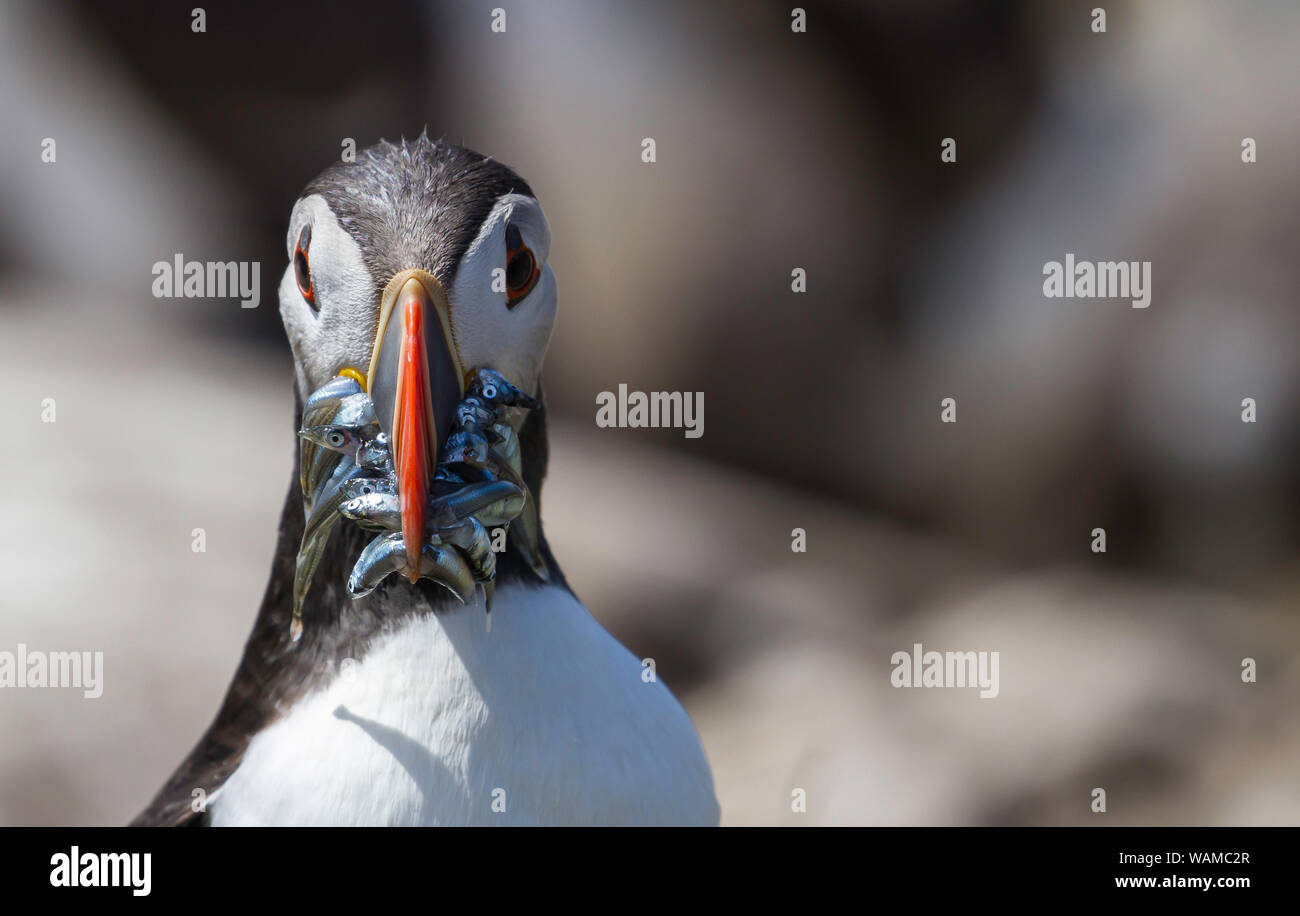 Puffin Fratercula Artica  Farne Islands off the coast of England - returning to its Summer breeding grounds of Northumberland carrying Sand Eels Stock Photo