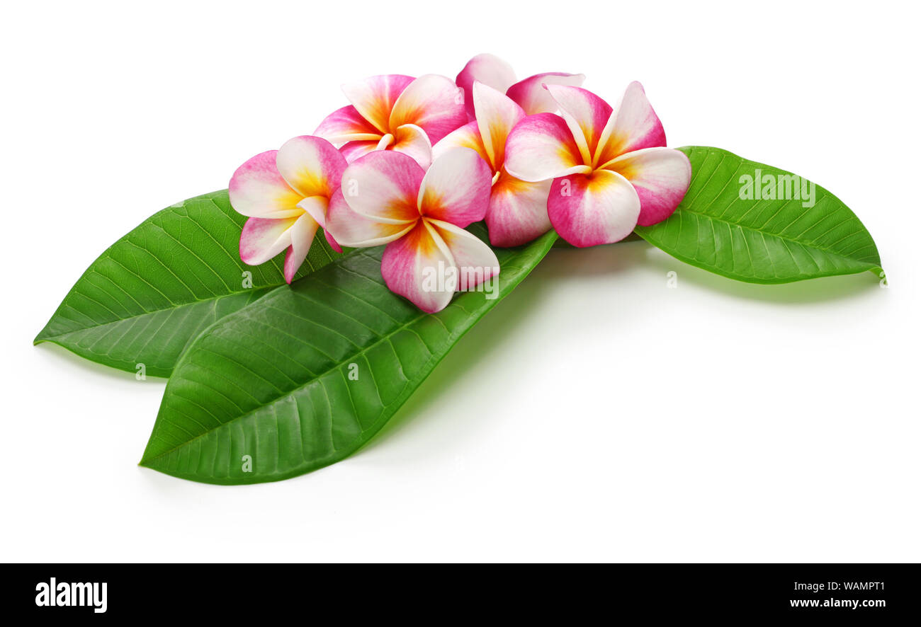 plumeria flowers and leaves isolated on white background Stock Photo