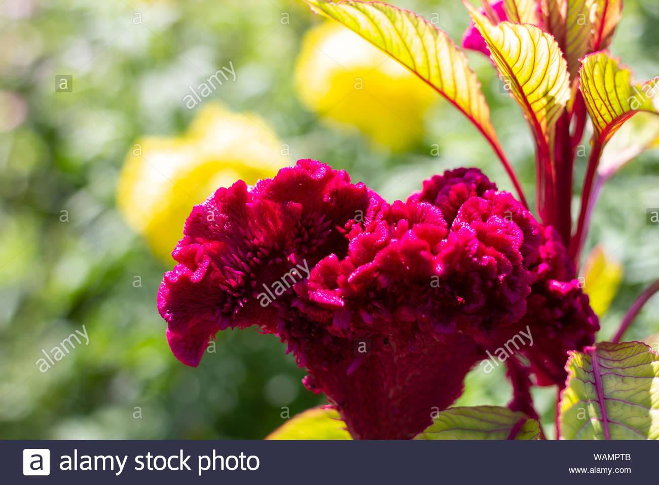 purple velvet flower in the garden Stock Photo
