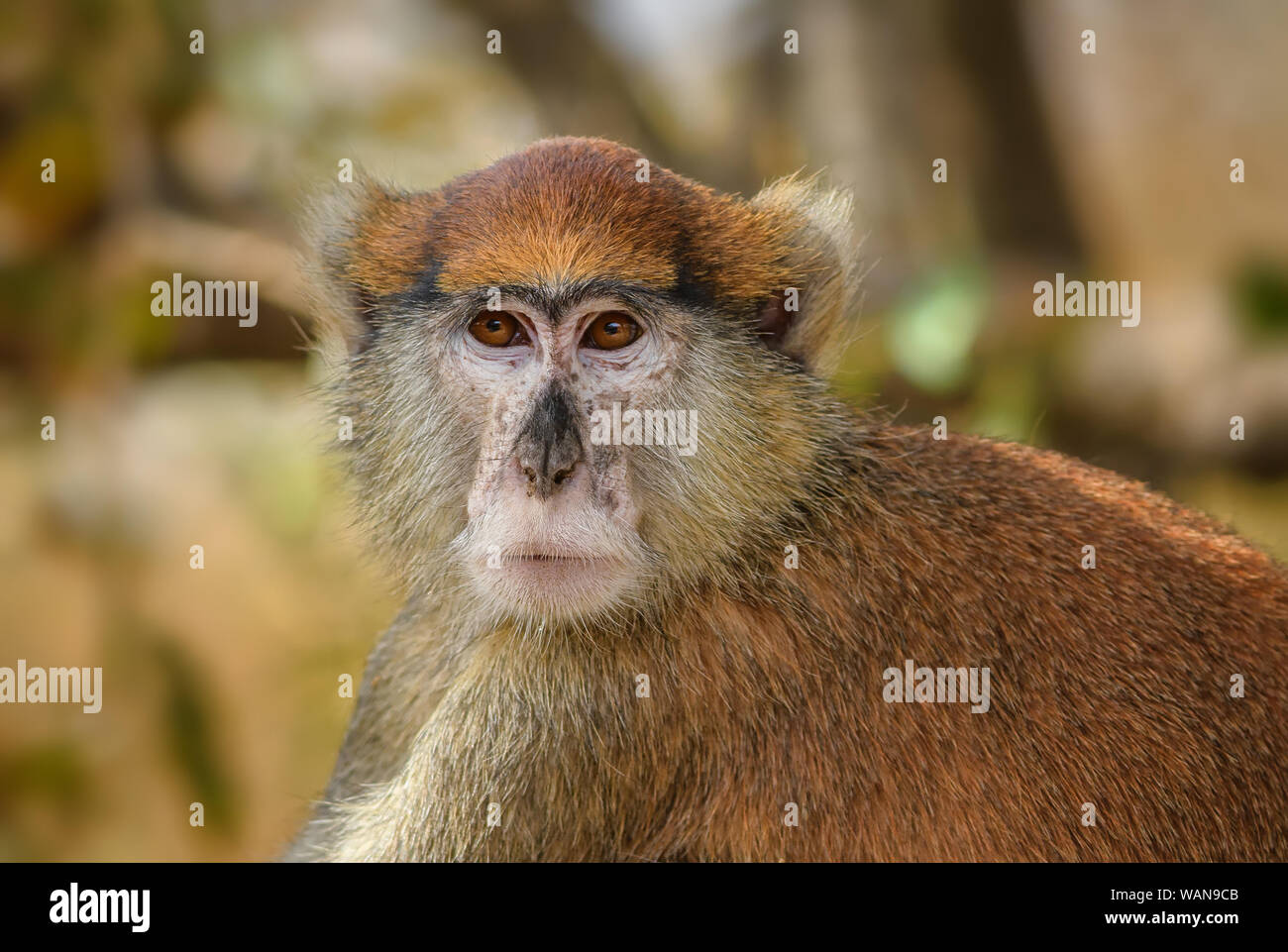 Patas Monkey - Erythrocebus patas, beautiful orange primate from African bushes and forests, Senegal, West Africa. Stock Photo