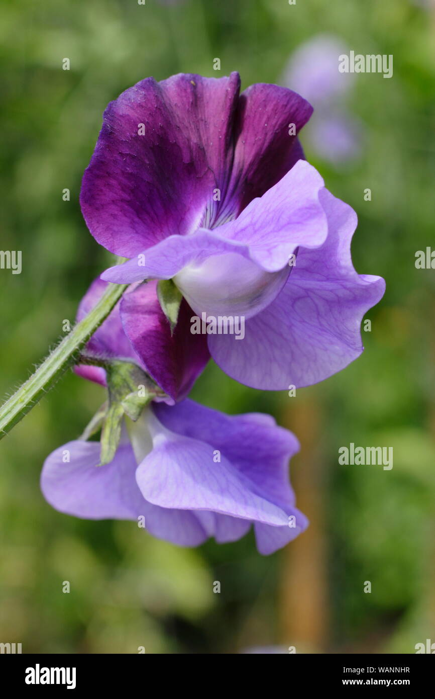 Lathyrus odoratus 'North Shore' a highly scented bicoloured sweet pea climbing in a mid summer garden. UK Stock Photo