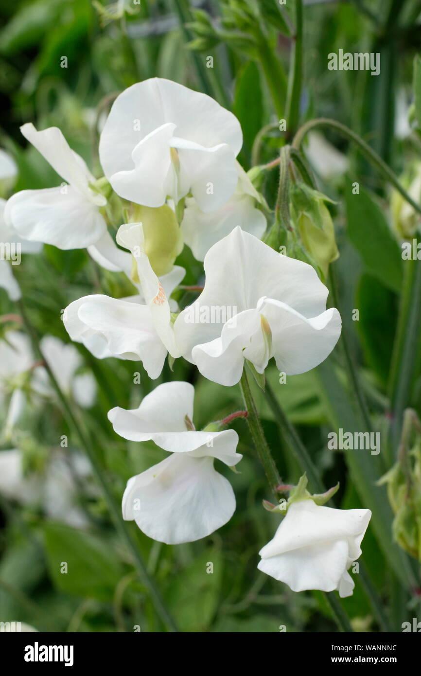 Lathyrus odoratus 'Tracey Ann' sweet pea ,  a white annual climber in a mid summer garden. UK Stock Photo