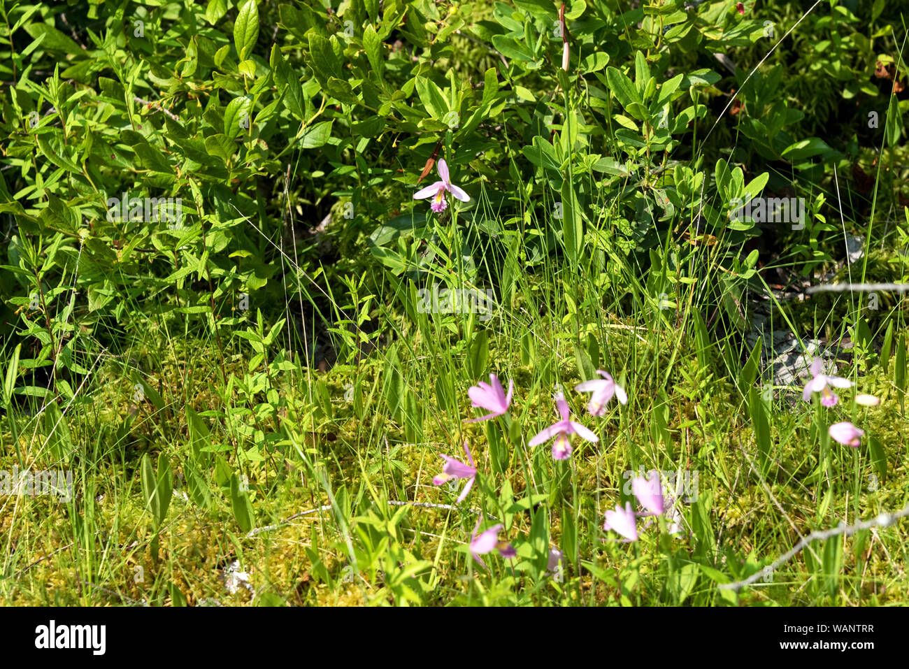 Rose pogonia (Pogonia ophioglossoides) blooming in a ditch near Eastern Head, Isle au Haut, Maine. Stock Photo