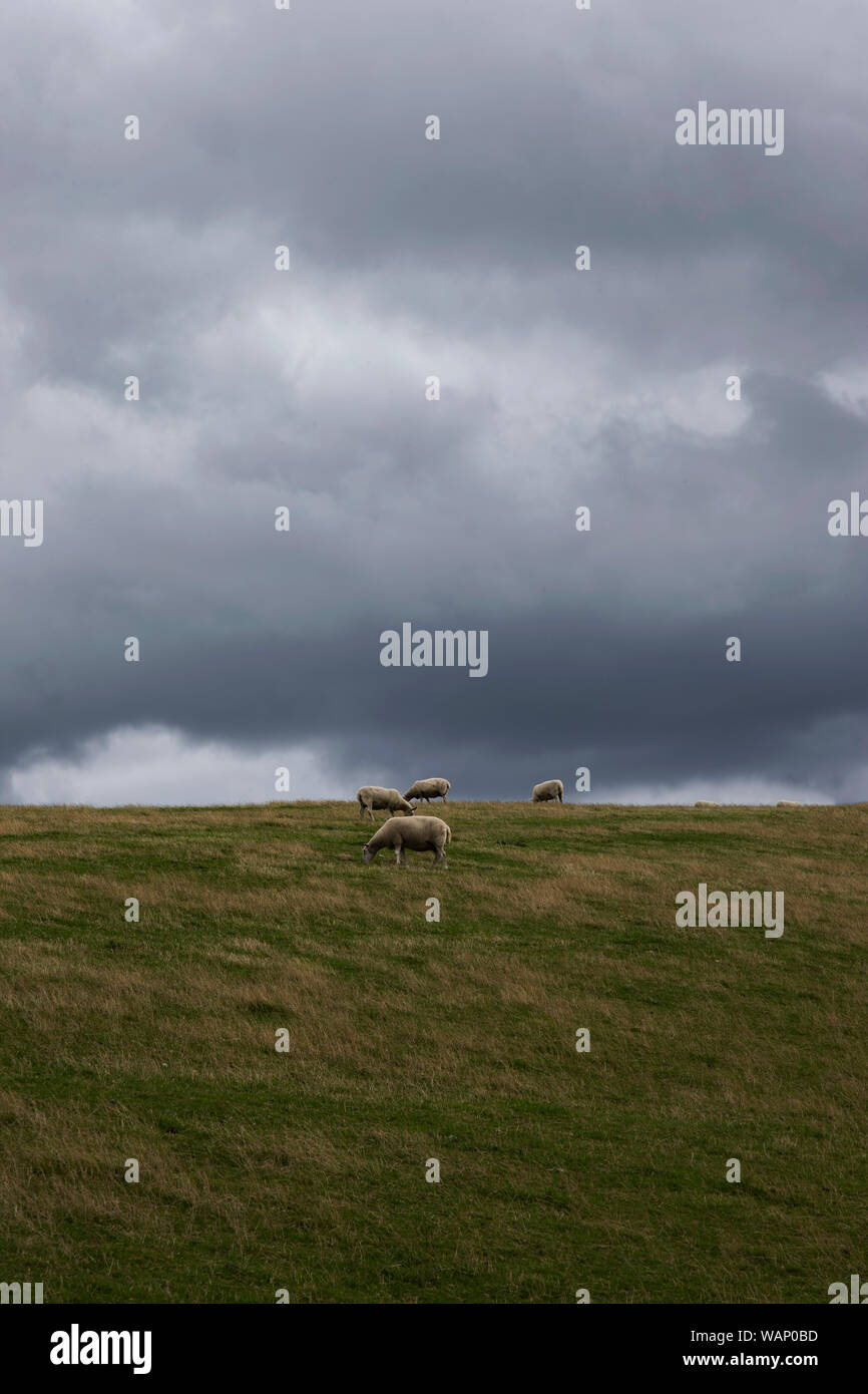 Sheep Ovis aries on a Yorkshire upland area with gathering storm clouds approaching in the background heralding threatening weather Stock Photo