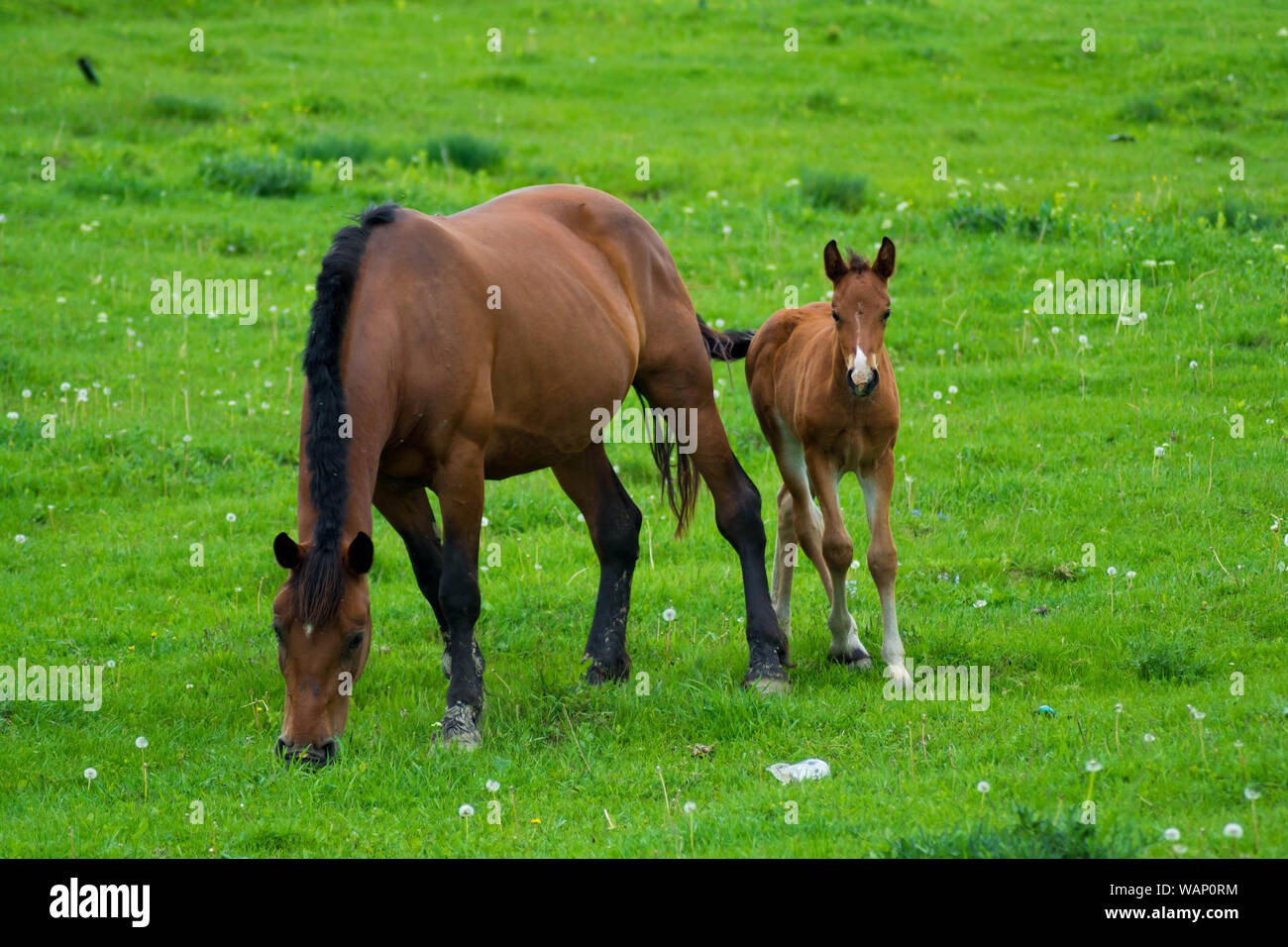 Baby Horse And His Mother Love Mother Son The Cute Baby Pony Confidently Turns To Its Mommy Horses Love Forever Stock Photo Alamy