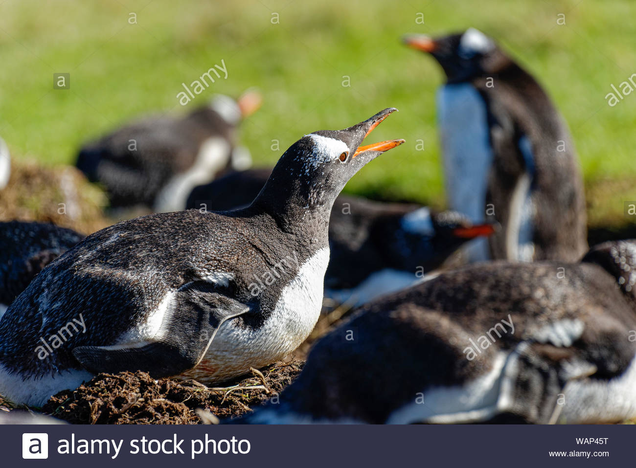 Brütender Eselspinguin (Pygoscelis papua) mit geöffnetem Schnabel, Falkland Inseln. Breeding gentoo penguin with open beak. Stock Photo