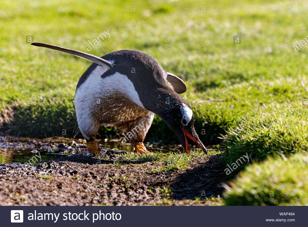 Eselspinguin (Pygoscelis papua), Falkland Inseln. Gentoo penguin, Falkland Islands Stock Photo
