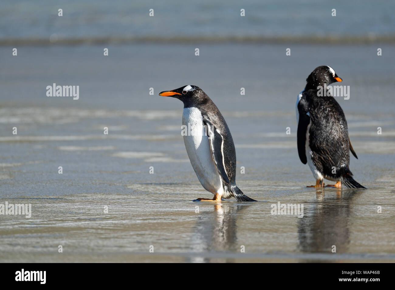 Zwei Eselspinguine (Pygoscelis papua) am Strand, Falkland Inseln. Two gentoo penguins oh the beach, Falkland Islands Stock Photo