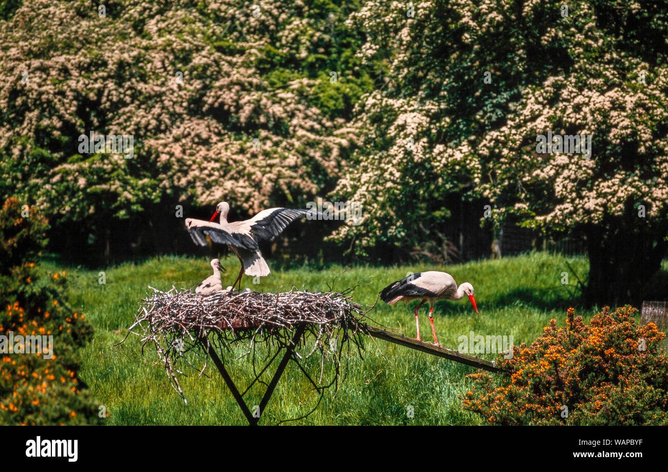 European white stork pair with young at nest, Ciconia ciconia Stock Photo