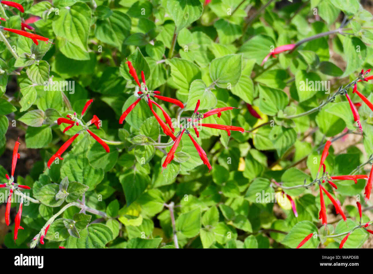 Ananas Salbei, Honigmelonensalbei, Salvia Elegans Stock Photo