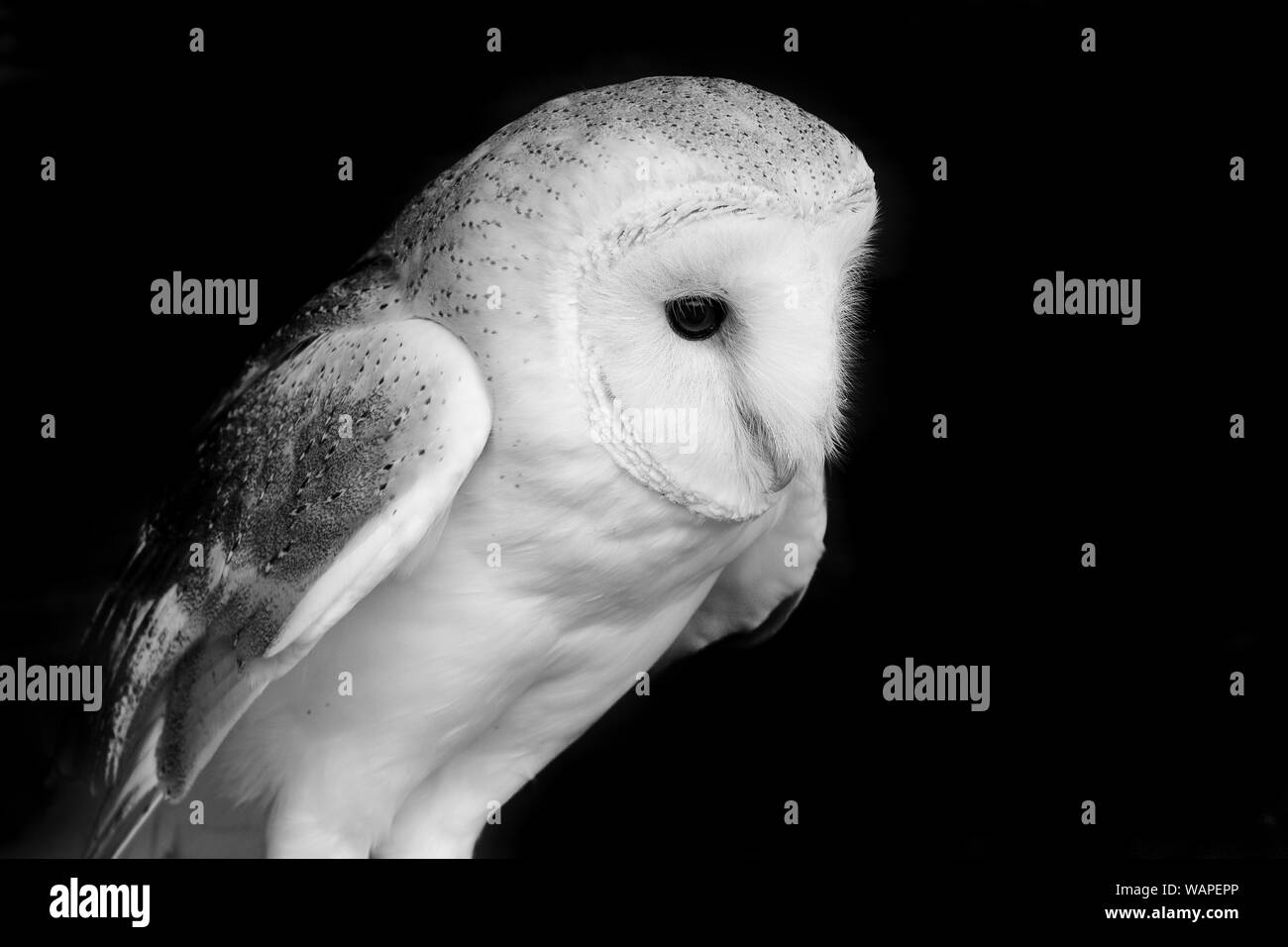 Black and white photo of a barn owl (tyto albus) with a black background Stock Photo