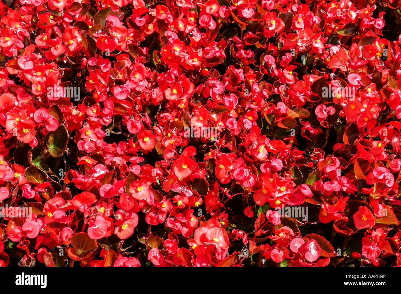 Red Wax begonia, background with many flowers Stock Photo