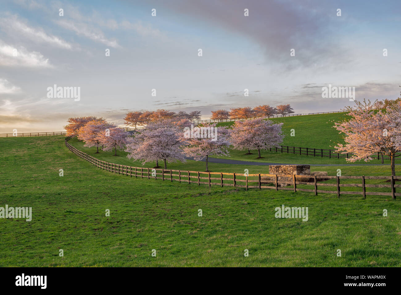 Blooming cherry trees, illuminated by late afternoon light, line a long driveway and fence. Stock Photo