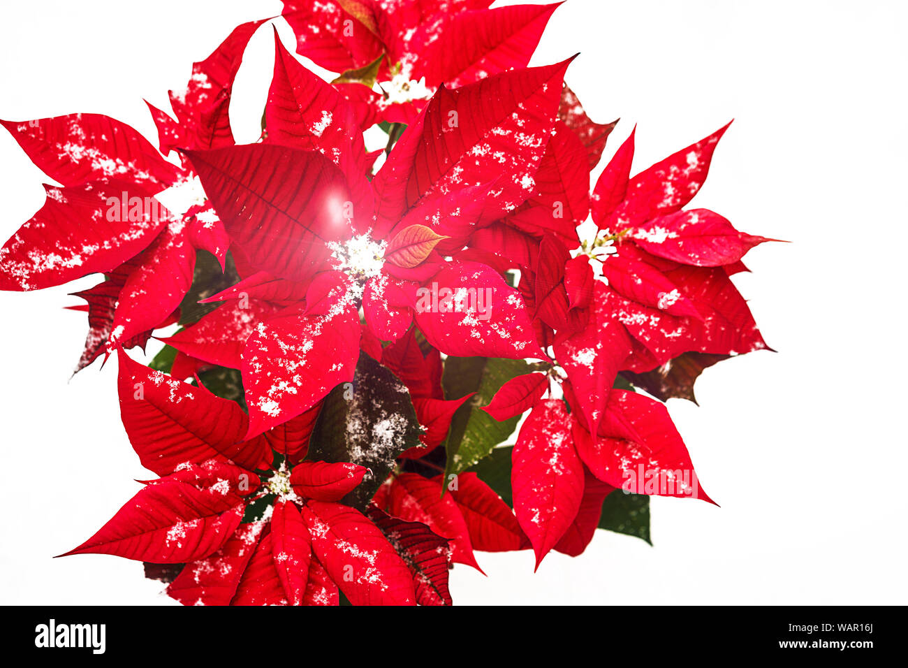 Let it snow   Red Poinsettia