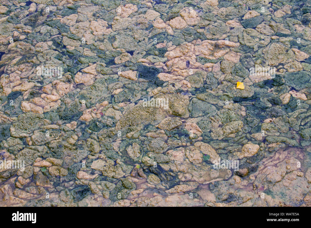 Dense covering of rotting algae on a pond Stock Photo