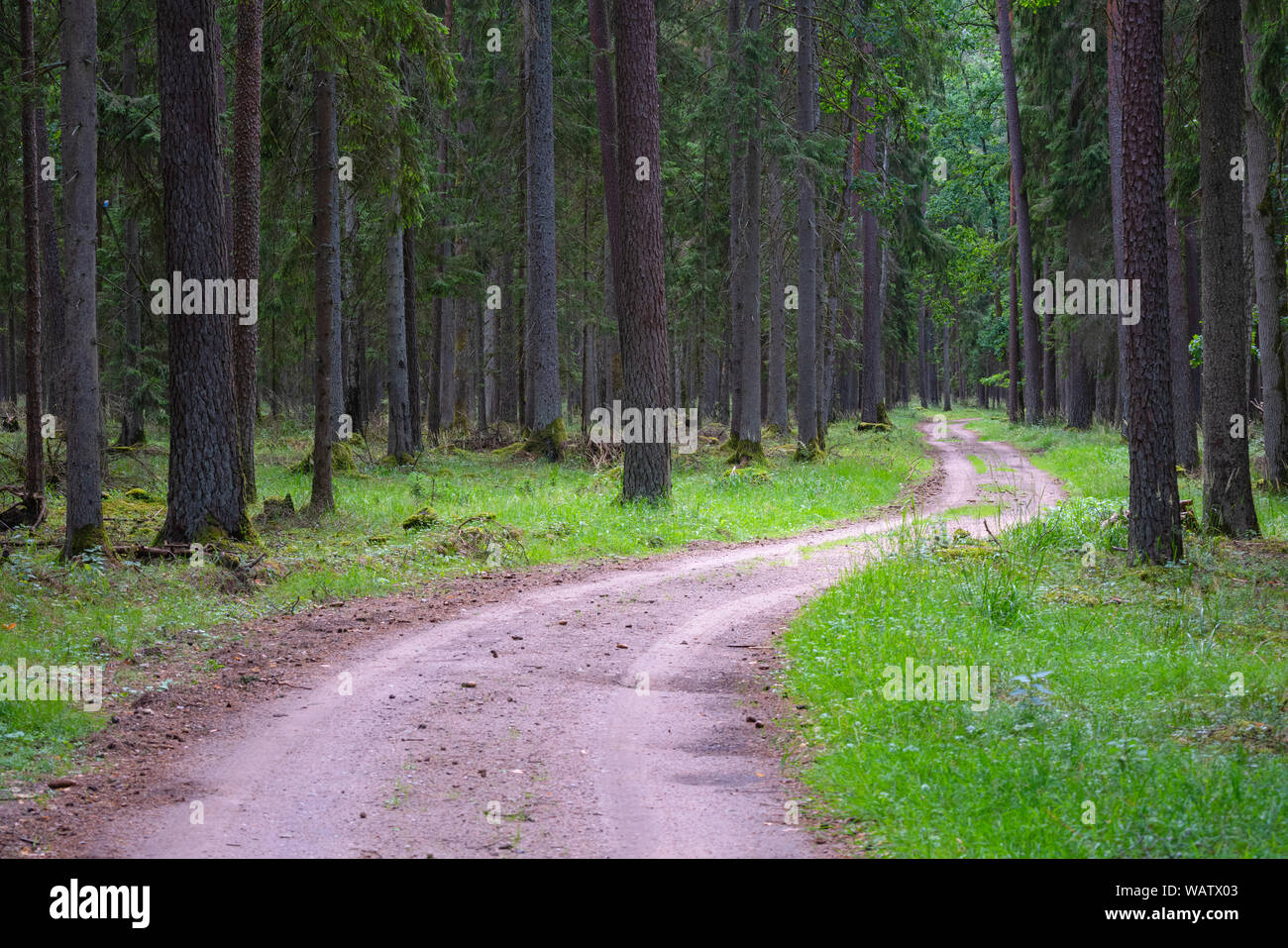 Gravel and sand road in the pine forest. Diminishing perspective of the path in the woods. Walking or driving through the trees on the forrest road wi Stock Photo