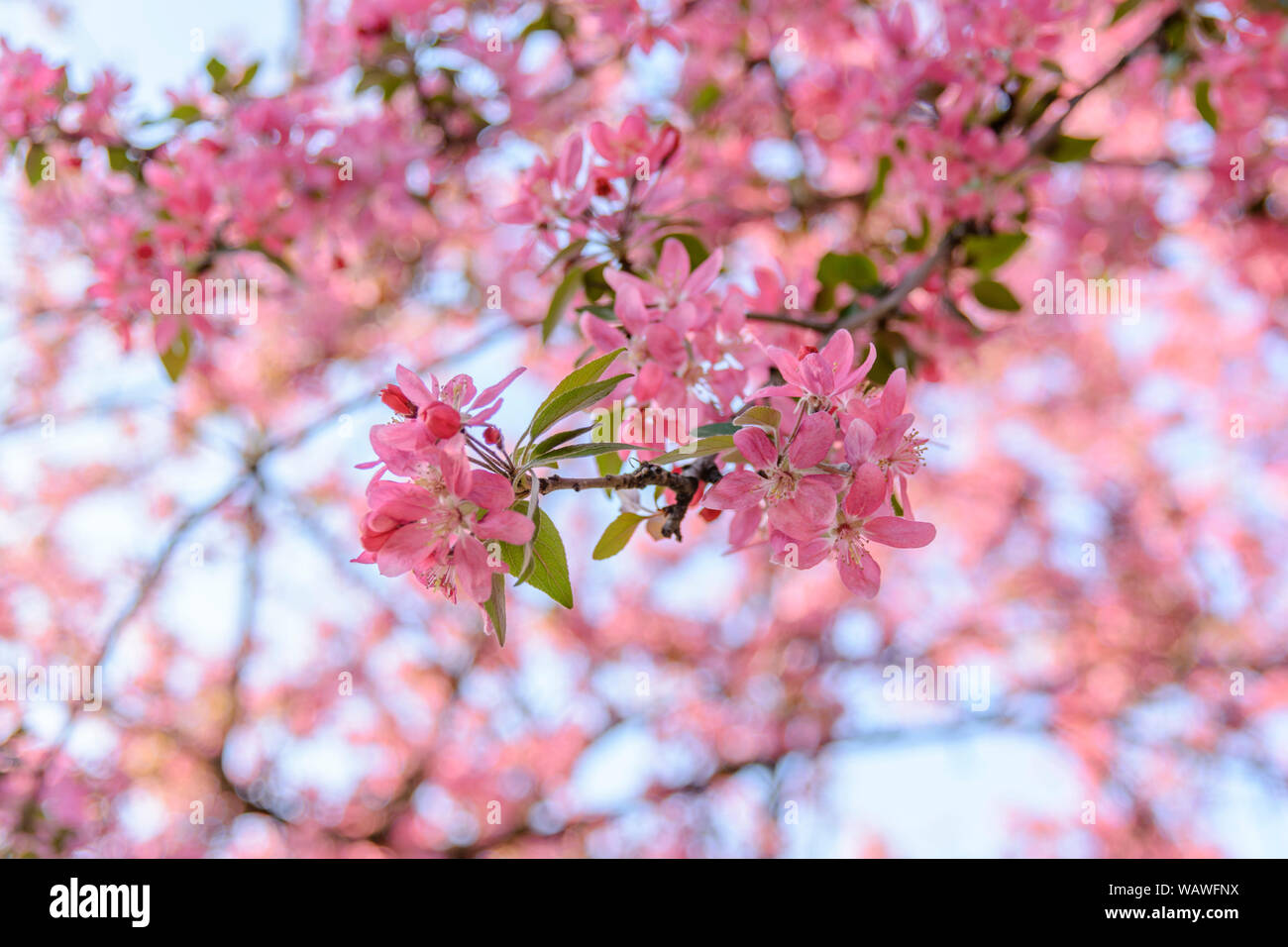 Chinese Branches Flowering Crab Apple Season Blossom Stock Photo