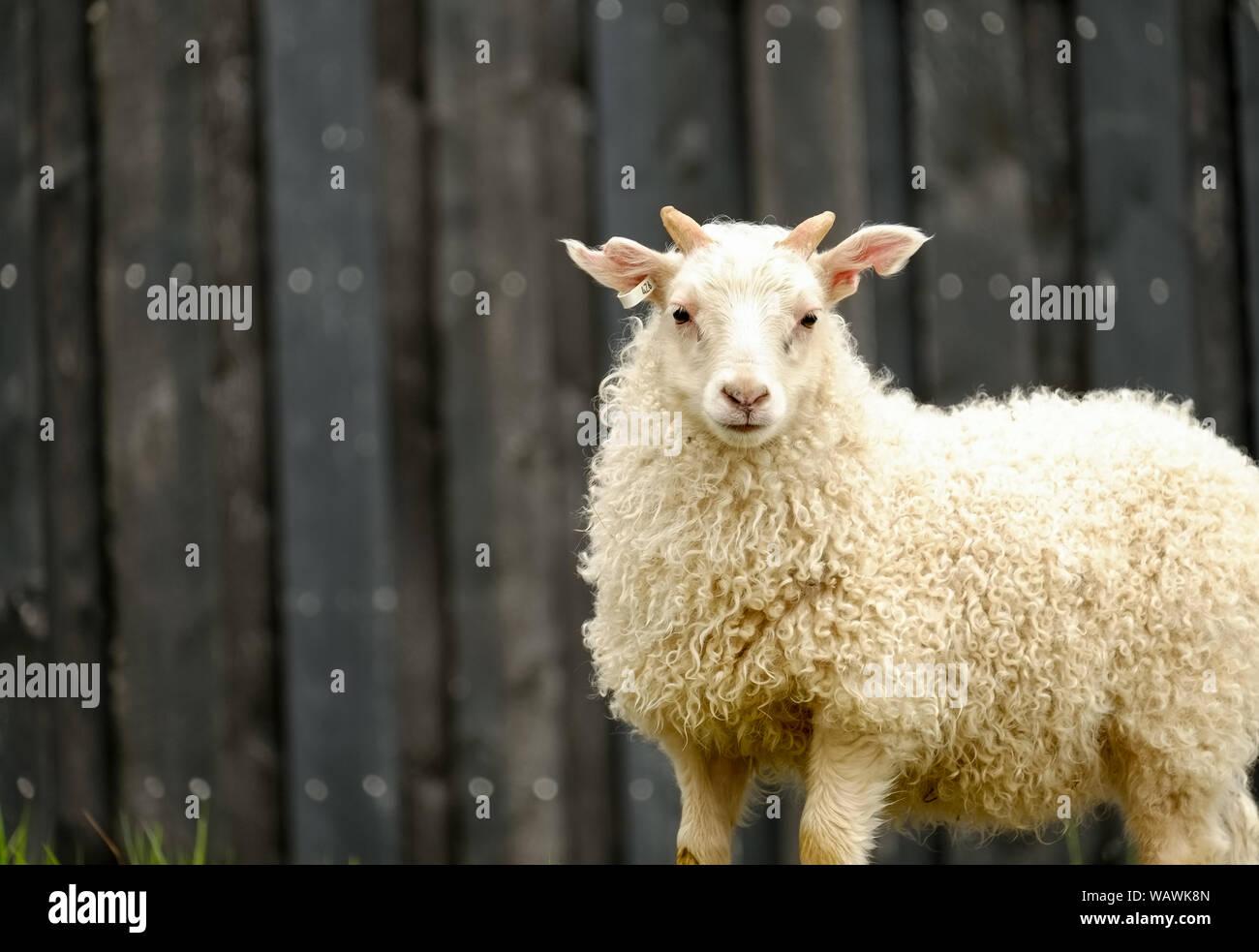 Icelandic lamb / sheep with long curly coat near Jokulsarlon, Iceland Stock Photo