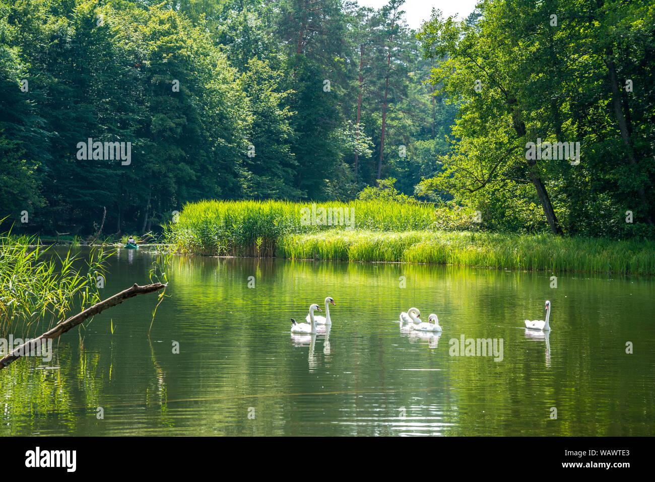 Schwäne auf dem  Fluss Krutynia oder Kruttinna, UNESCO Biosphärenreservat Masurische Seen bei Krutyn, Ermland-Masuren, Polen, Europa | swans on the Kr Stock Photo