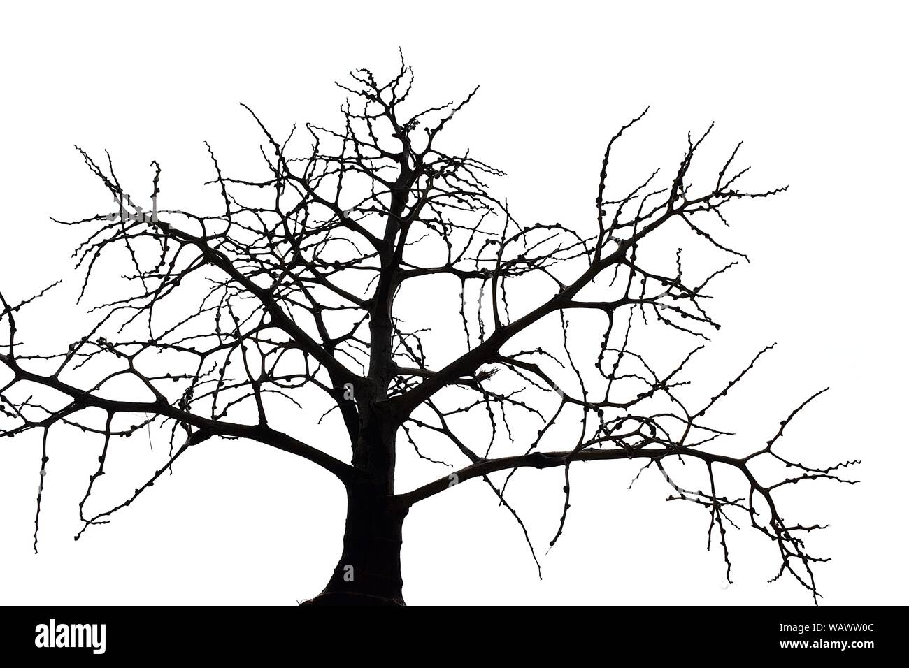 Scary Bare Black Tree Silhouette On White Background Branches Without Leaves Stock Photo Alamy