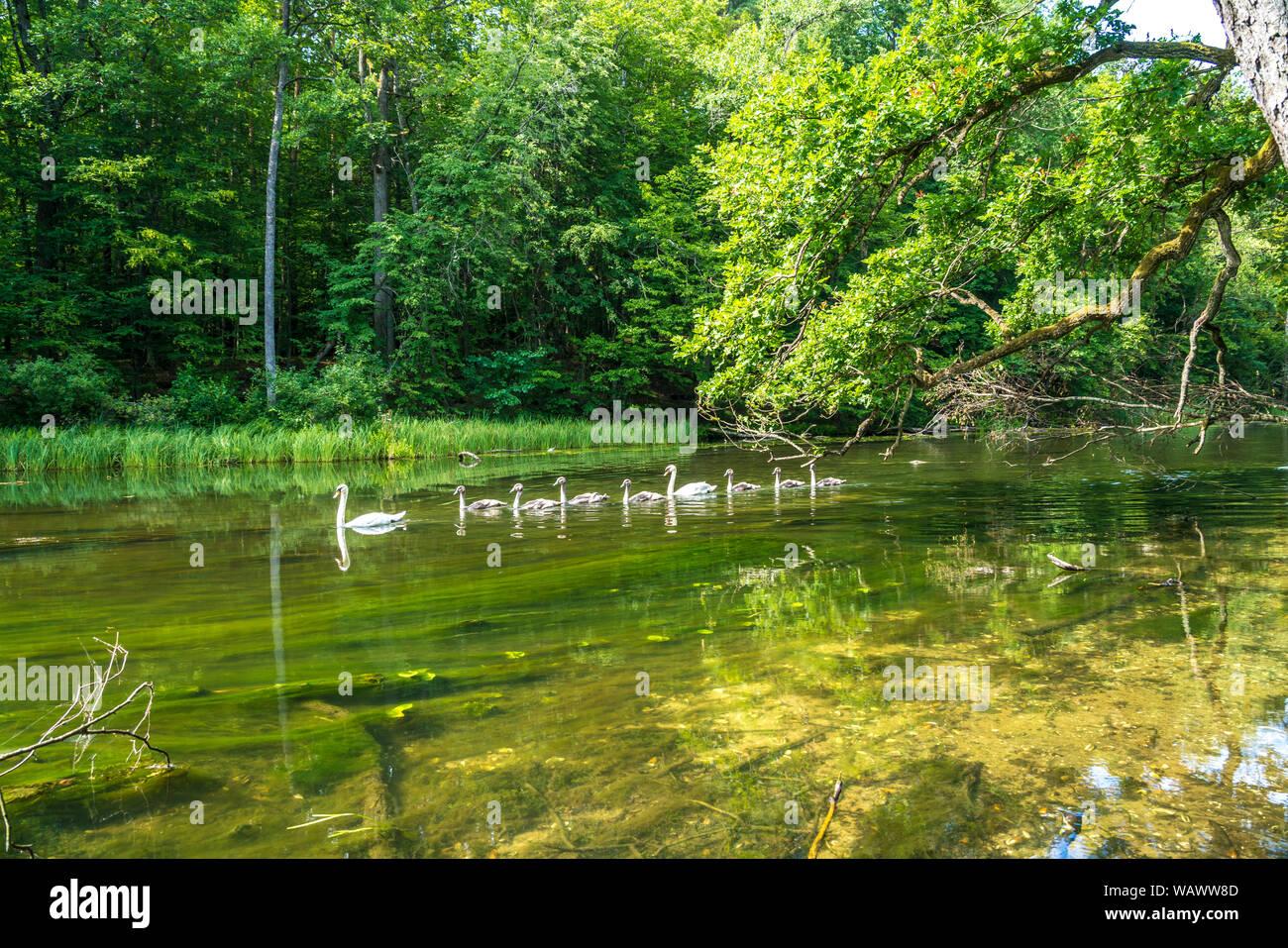 Schwäne auf dem  Fluss Krutynia oder Kruttinna, UNESCO Biosphärenreservat Masurische Seen bei Krutyn, Ermland-Masuren, Polen, Europa   swans on the Kr Stock Photo