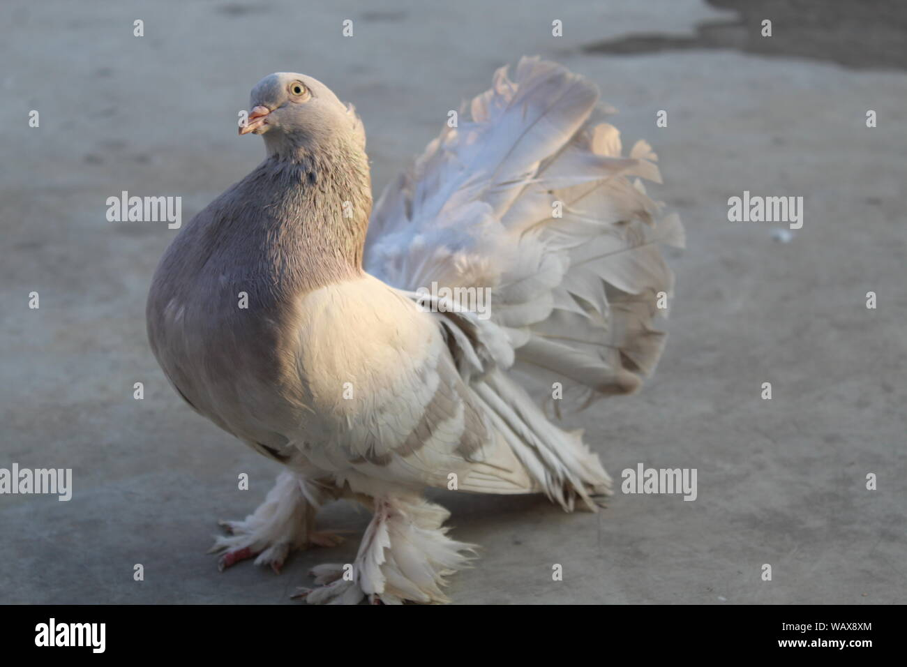 Fancy Pigeons Stock Photos & Fancy Pigeons Stock Images - Alamy