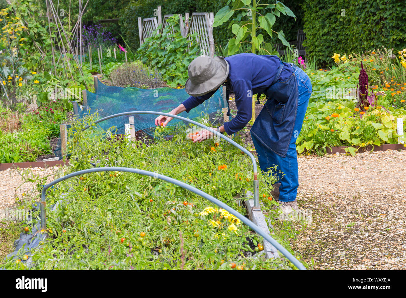 Woman picking tomatoes at Patrick's Patch, Beaulieu, New Forest, Hampshire UK in August Stock Photo
