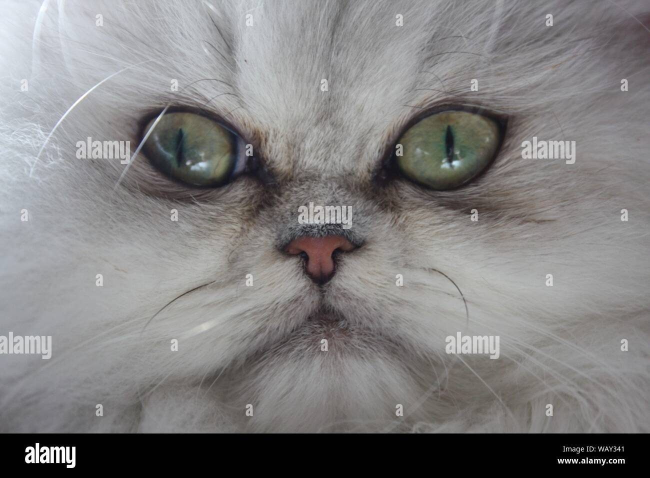 Silver Shaded Persian kitten, cat with green eyes Stock Photo