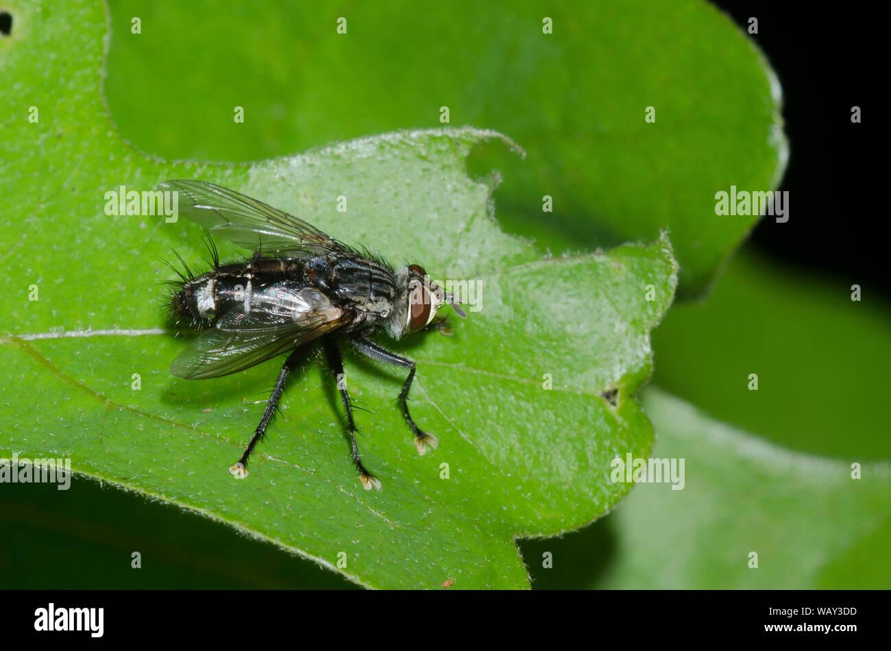 Tachinid Fly, Tribe Exoristini Stock Photo