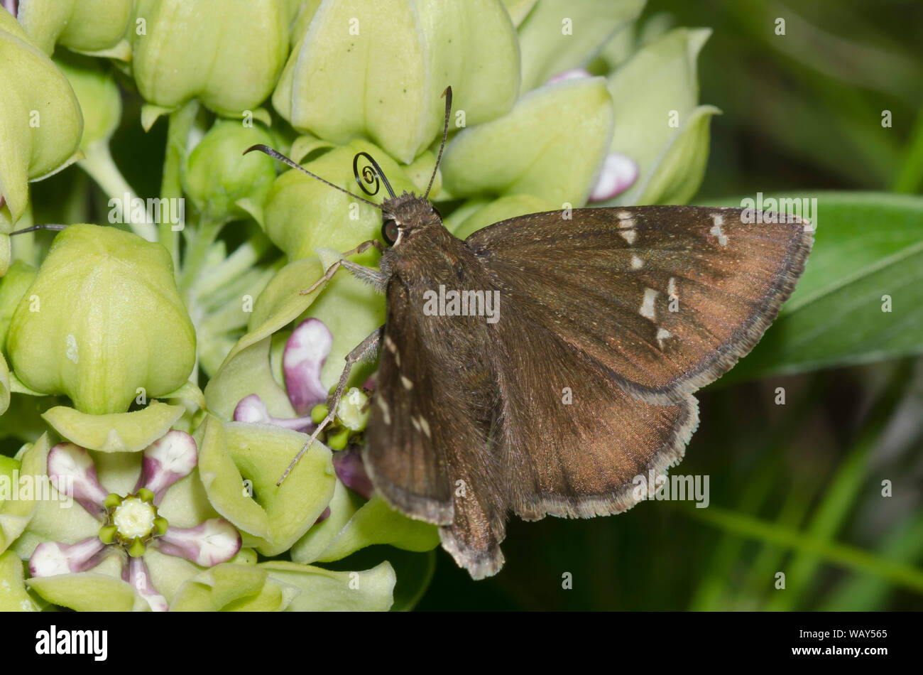 Confused Cloudywing, Thorybes confusis, nectaring from green milkweed, Asclepias viridis Stock Photo