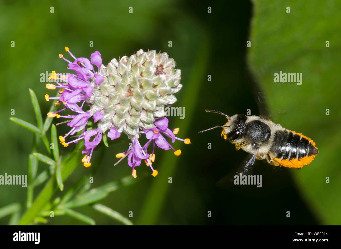 Flat-tailed Leaf-cutter Bee, Megachile mendica, hovering in flight near Purple Prairie Clover, Dalea purpurea Stock Photo