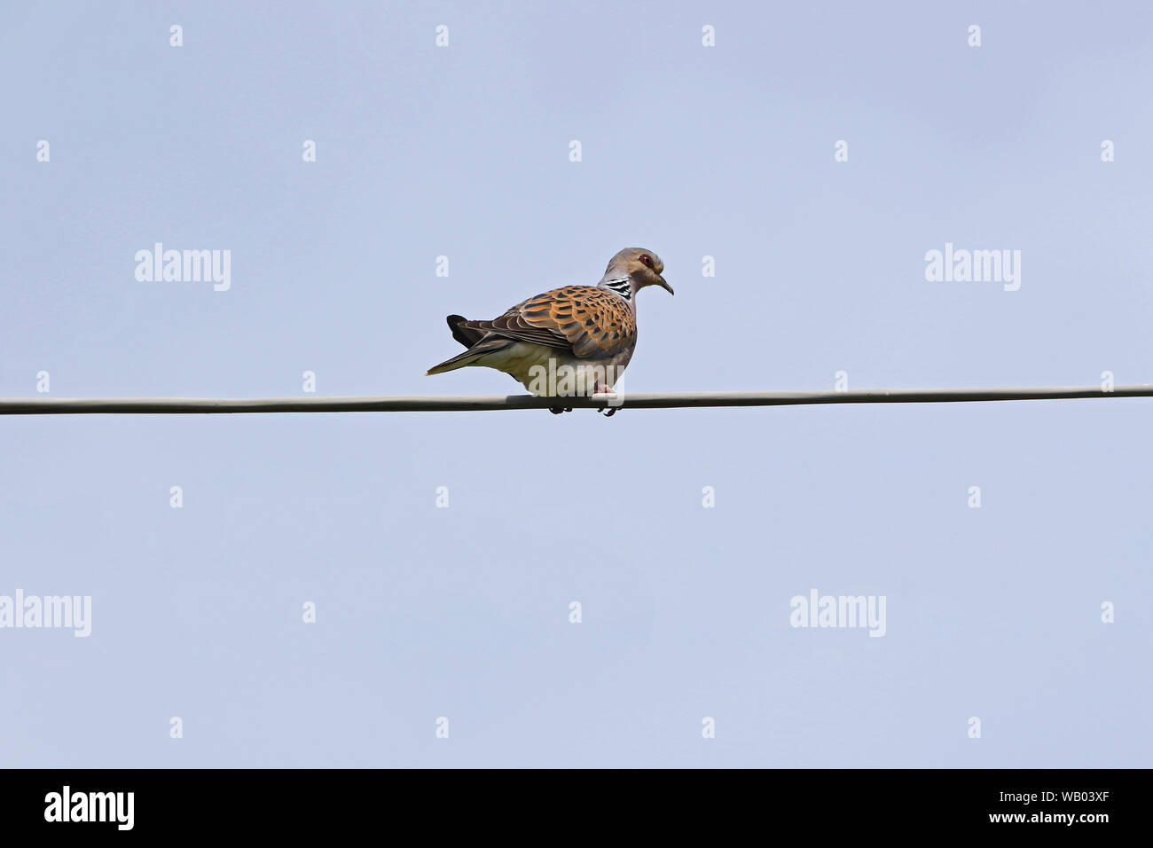 Turtle dove Latin name streptopelia turtur adult very close to not a collared dove or mourning dove in Italy vulnerable status due to hunting in Malta Stock Photo