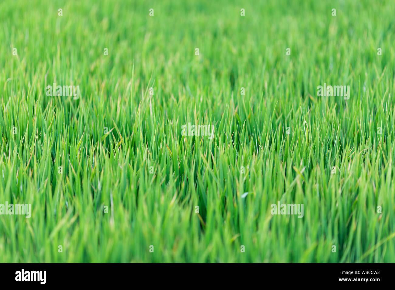 Green Grass Texture Background Green Lawn Backyard For Background Wallpaper Green Lawn Desktop Picture Park Lawn Texture Wet Grass Texture With Stock Photo Alamy