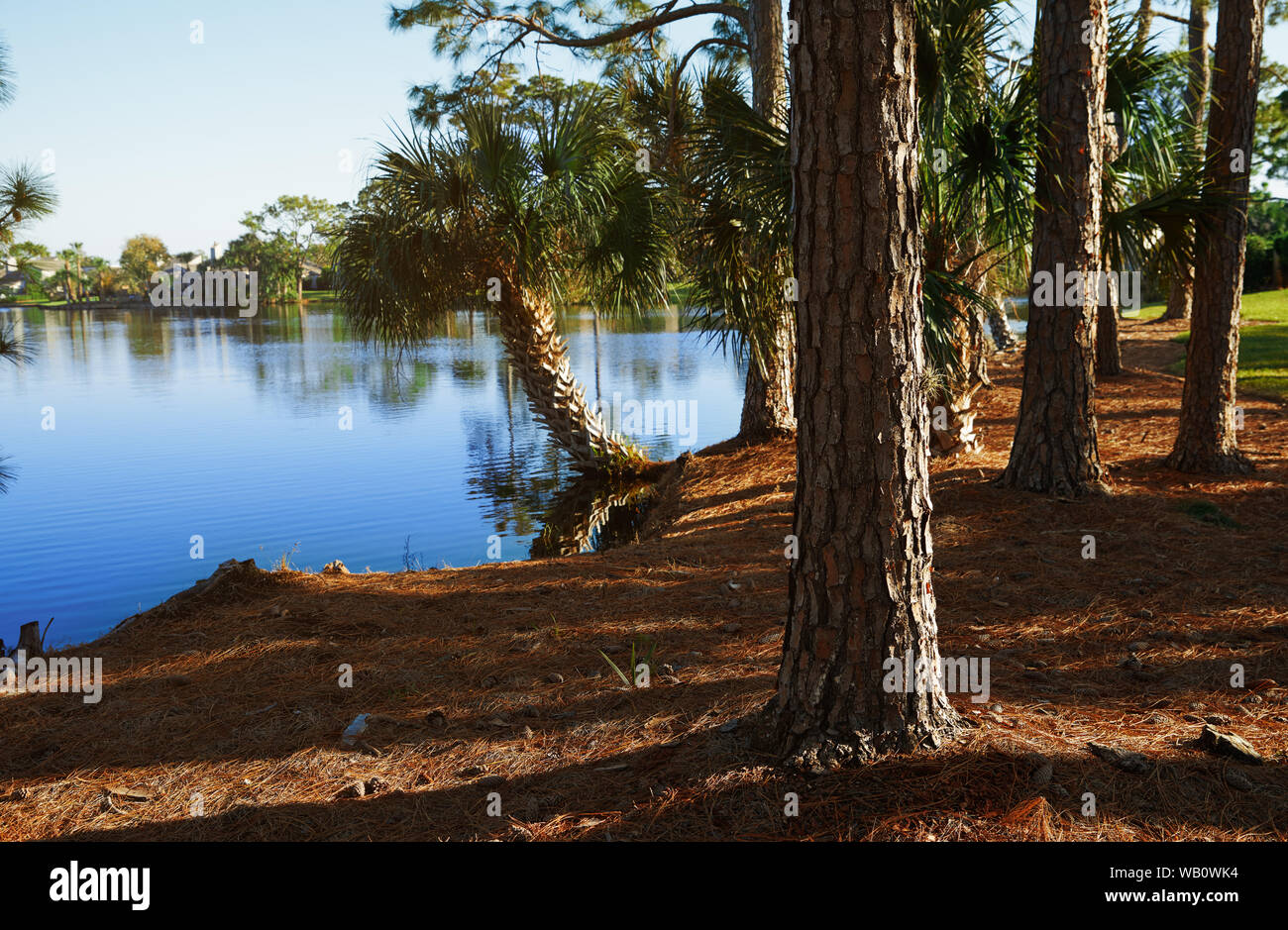 Palm trees growing next to the lake in Florida, USA Stock Photo