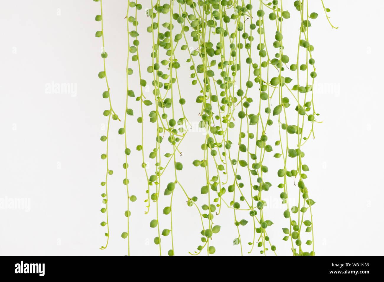 Senecio rowleyanus eine Perlenkette /'String of Pearls/' S
