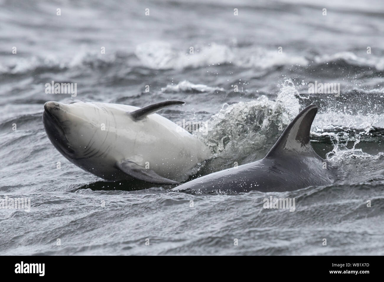 Dolphin from the beach at Chanonry Point, in the Scottish Highlands Stock Photo