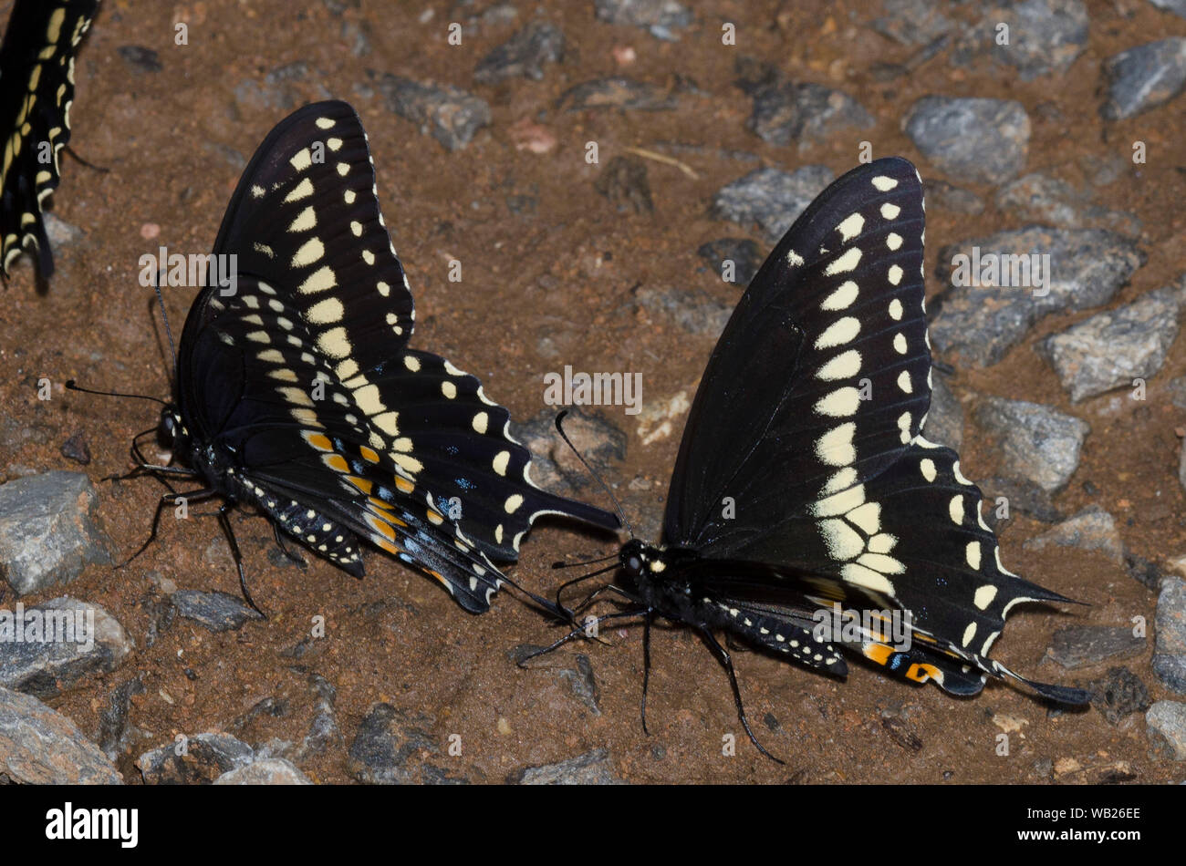 Black Swallowtails, Papilio polyxenes, males mud-puddling Stock Photo