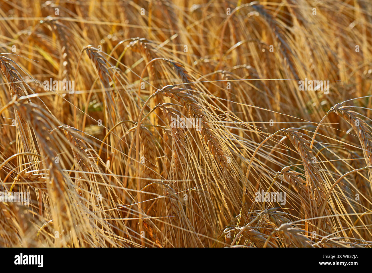 ears of barley Latin hordeum vulgare growing in early summer in a field in Italy Stock Photo