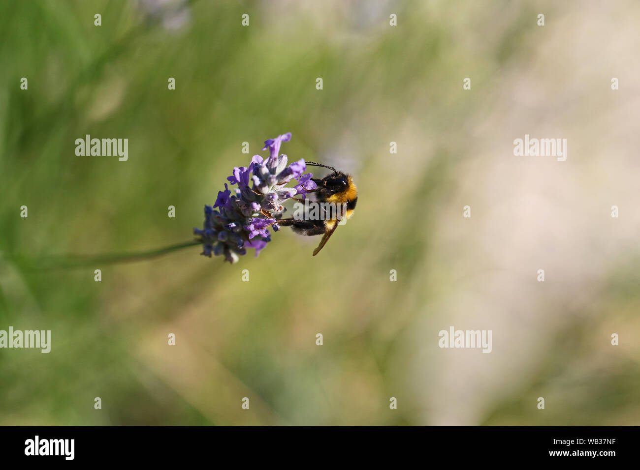 white tailed bumble bee or bumblebee Latin bombus lucorum similar to bombus terrestris family apidae feeding on a lavender bush in summer in Italy Stock Photo