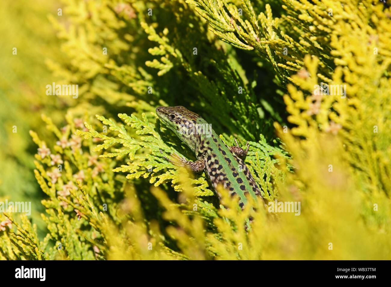 Italian wall lizard Latin podarcis sicula not muralis at rest on a thuja or thuya tree also called tree of life in Italy Stock Photo