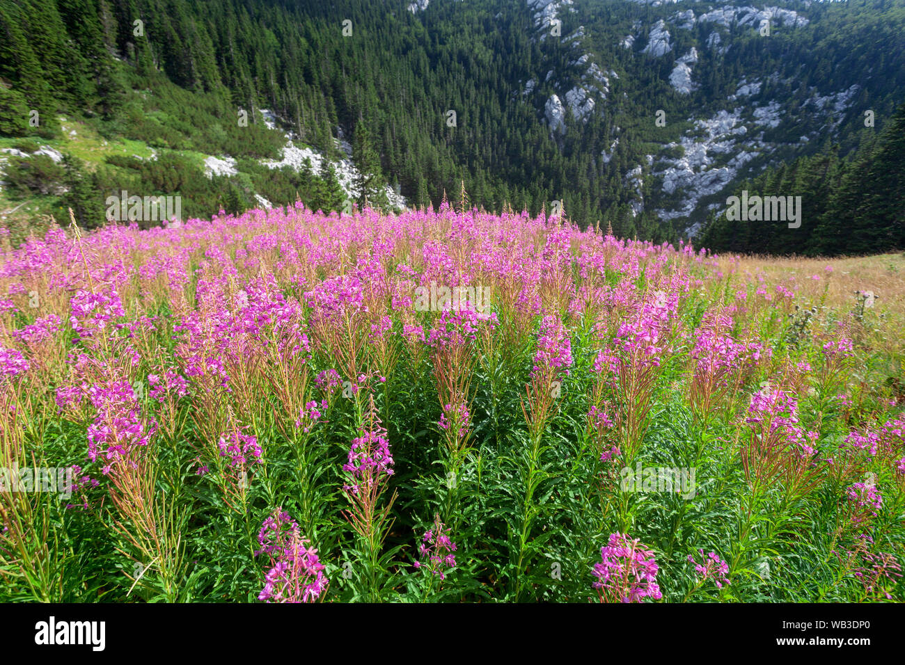 Wild flowers Chamaenerion angustifolium from Velebit mountain Stock Photo