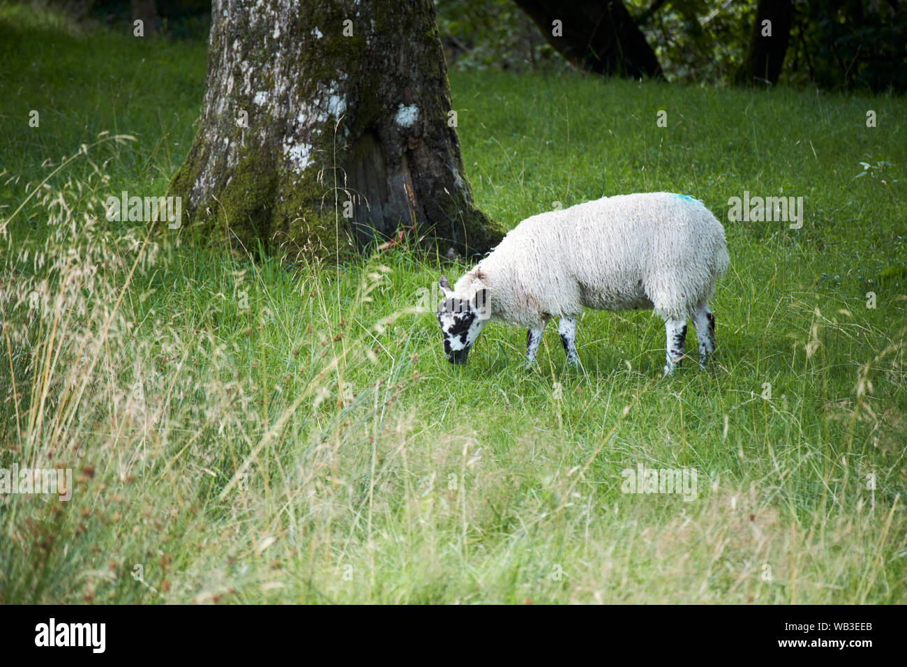 single rough fell sheep grazing in hill country lake district national park, england, uk Stock Photo