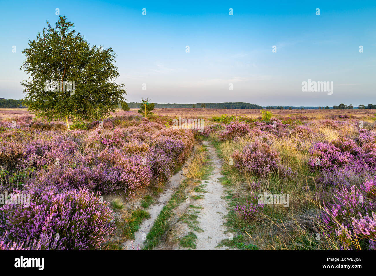 Purple pink heather in bloom Ginkel Heath Ede in the Netherlands. Famous as dropping zone for the soldiers during WOII operation Market Garden Arnhem. Stock Photo